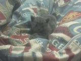 Продам котят голубой шотландской